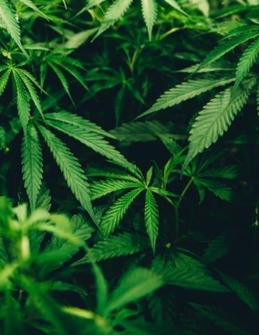 closeup photo of cannabis plant