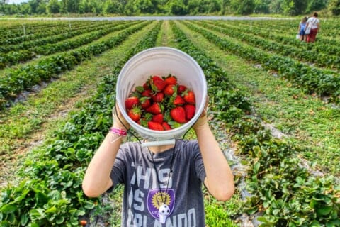 boy in gray crew neck t-shirt holding white plastic bucket with strawberries