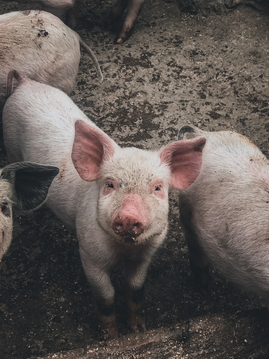 white pig on brown soil